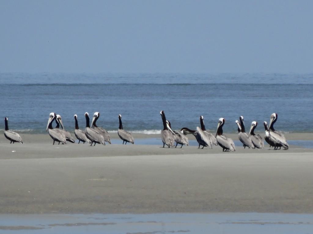 Pelicans in tidal pools at Hilton Head