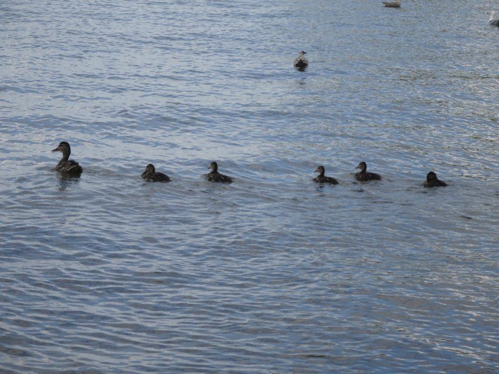 91616-ducks
