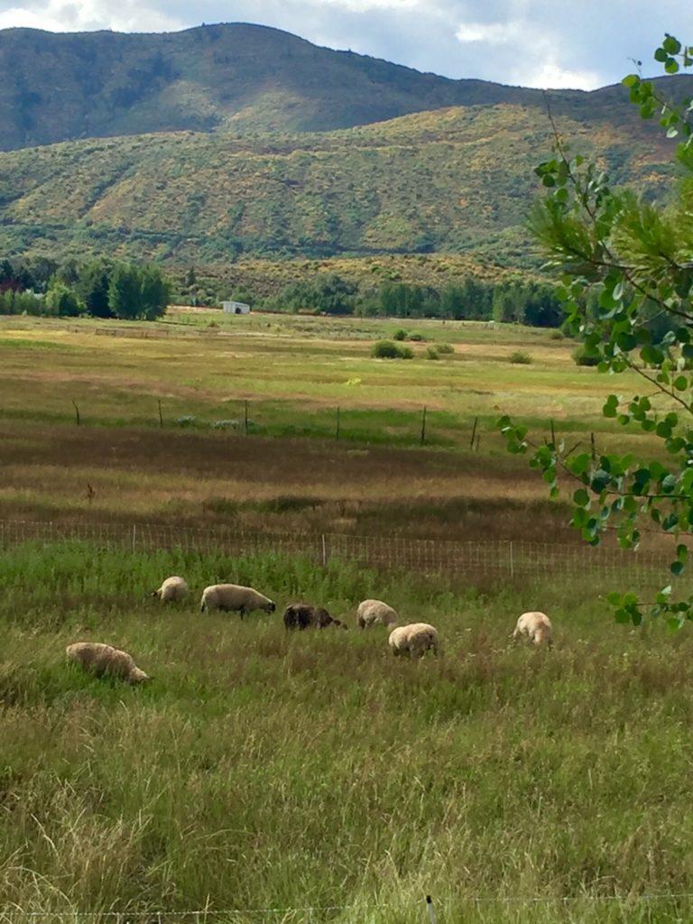 91616-sheep