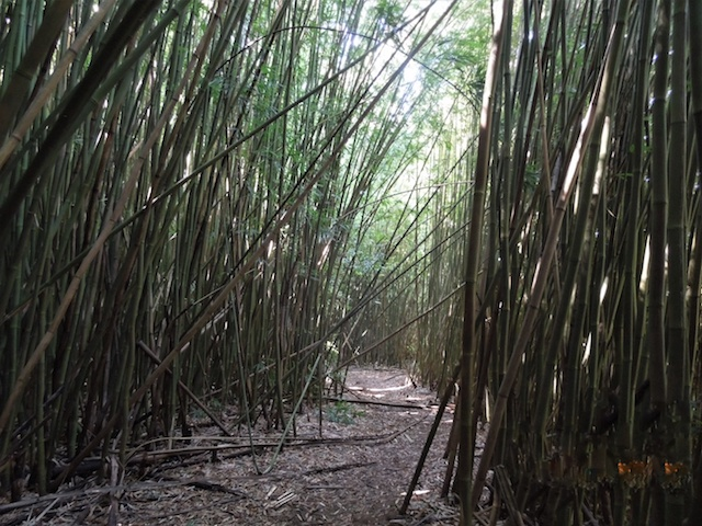 Bamboo Forest with path